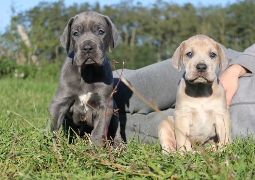 chiots dogue allemand lof